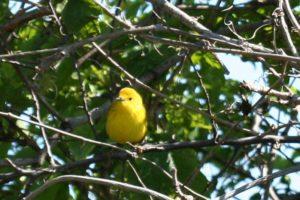 yellow iowa bird